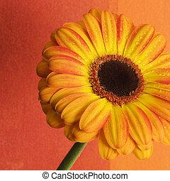 Orange flower - orange flower with artwork background,...