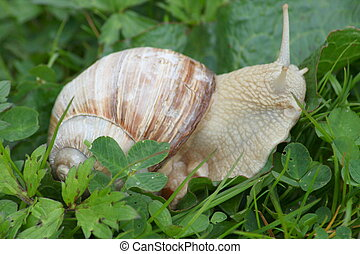 crawling snail (Helix pomatia) - Close-up of a crawling...