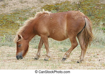 Brown Shetland pony grazing in a sand dune