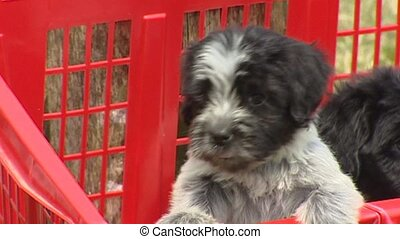 Playful Dutch sheepdog puppies in red laundry basket - Dutch...