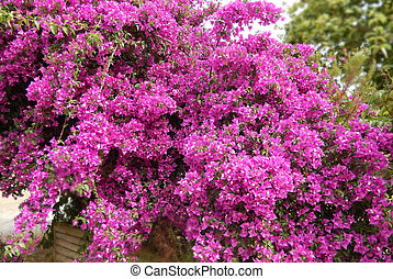 Pink Bougainvillea bush - Bougainvillea bush background with...