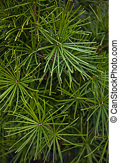 Conifer - Detail of a conifer in a garden