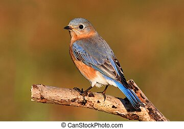 Female Eastern Bluebird (Sialia sialis) on a perch with a...