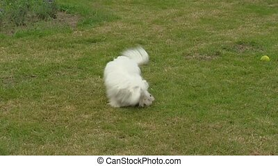 Coton de Tulear, playful pup & adult on lawn - Coton de...