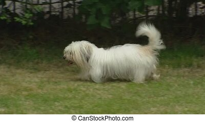 Coton de Tulear adult runs in yard and greets pup. The Coton...