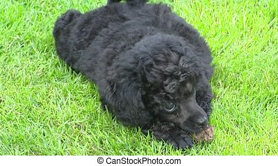 Poodle pup chewing on toy. Unlike most breeds, poodles can...