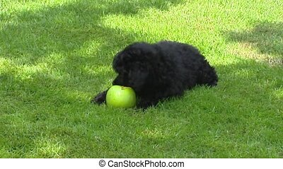 Poodle pup chewing on appel + 2nd pup comes playing - Poodle...