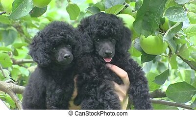 Pair of Poodle pups