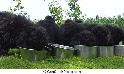 Row of Poodle pups eating from bowl - close up.