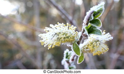 return spring cold weather: frost on flowers - Ice crystals...
