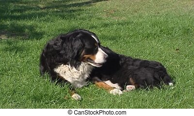 Bernese Mountain Dog nursing pups on lawn + walks off -...
