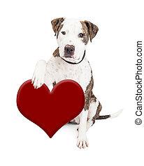 Pit Bull Dog Holding Heart