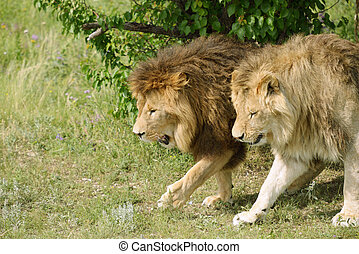 Lions - Two Lions walking under a tree
