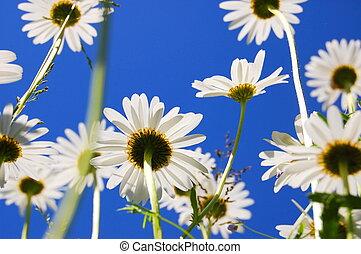 sommer, blume, gänseblumen