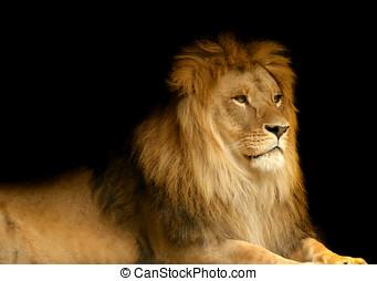 Lion - Portrait of a lion against black background