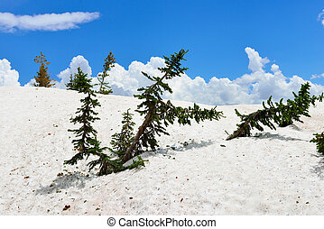 Conifer Trees in Snowy Range Mountains in Medicine Bow,...