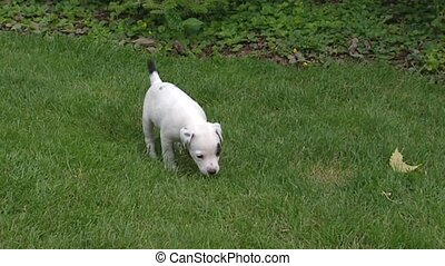 Parson Jack Russell Terrier pups playing on lawn.