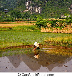 Rice Field Work