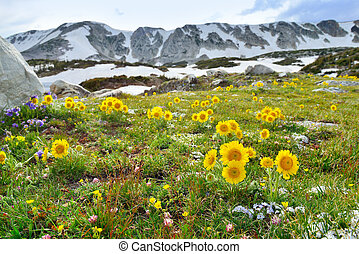 Meadow of wild flowers in Snowy Range Mountains, Medicine...
