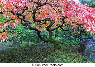 Old Maple Tree at Japanese Garden - Old Red Lace Leaf Maple...