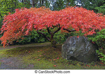 Japanese Maple Tree by Rock in Autumn - Japanese Red Lace...