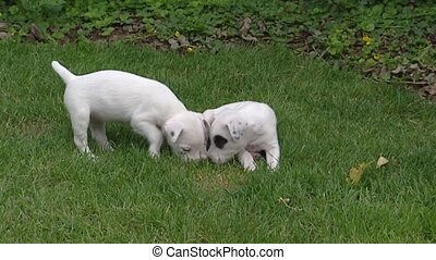 Parson Jack Russell Terrier pups sit on lawn