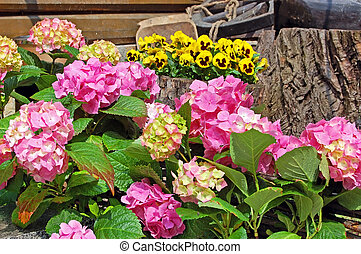 Hydrangea blossom and Pansy (Viola tricolor) on flowerbed