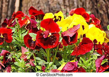 Pansy (Viola tricolor) - Yellow and red Pansy (Viola...