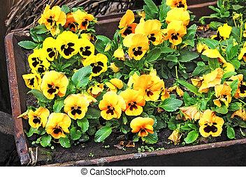 Pansy (Viola tricolor) - Yellow Pansy (Viola tricolor)...