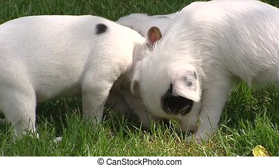 Parson Jack Russell Terrier pups playful in grass - medium...