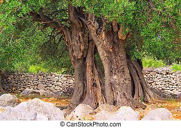azeitona, árvore, trunk, ,