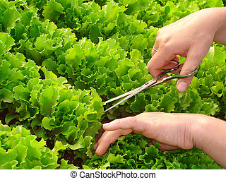 cropping lettuce - woman hands cropping green lettuce leaves...