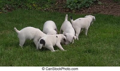 Parson Jack Russell Terrier pups playful in grass 02 -...