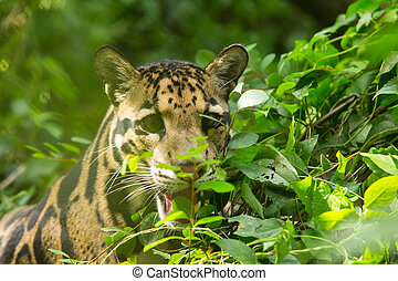 Clouded Leopard (Neofelis Nebulosa) - Portrait of Beautiful...
