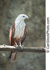 Brahminy Kite Red-backed Sea Eagle