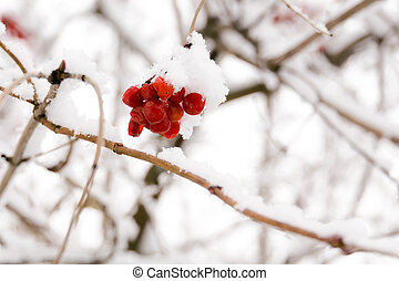 Rowan in the Snow - Branches of mountain ash, rowan tree in...