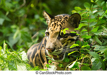 Clouded Leopard Neofelis Nebulosa - Portrait of Beautiful...