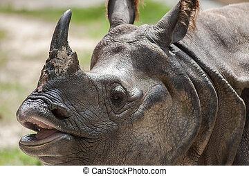 Greater One-horned Rhinoceros, Indian Rhinoceros(Rhinoce ros uni