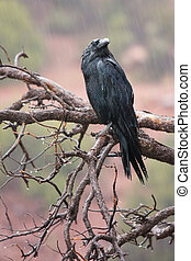 Wet Raven - A Common Raven perched on a branch near Sedona,...