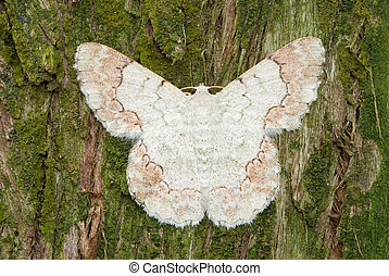 White moth on pine tree background