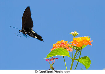 concept of freedom. swallowtail butterfly free flying -...