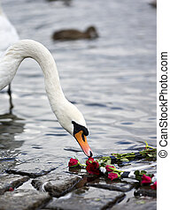 Roses and the Swan - Swan sniffing at the red roses.
