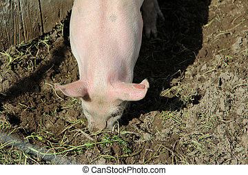 Detail of a pink pig - Detail of a small pink pig plowing...