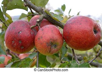Apples ready for harvest - ungespritzte Aepfel auf einem...