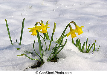 daffodil 06 - Osterglocke 06