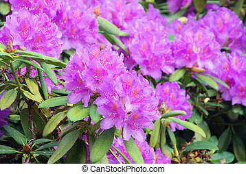 Rhododendron 19