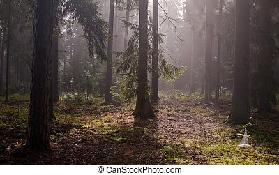 Coniferous trees against light of misty sunrise