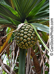 Hala fruit (Pandanus tectorius) - A group of hala fruit in a...