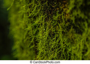 Closeup of tree lichen, Costa Rica - Fine lichen growing on...