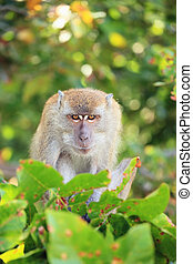 intent look - angry monkey stares at the camera sitting on a...